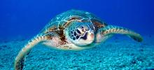 tartaruga marinha nadando